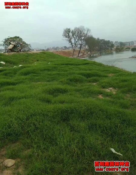 护坡草种子品种及价格
