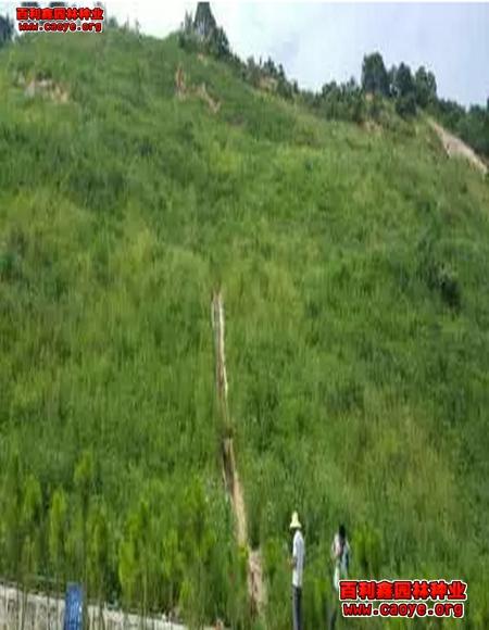 北方护坡草