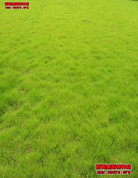 边坡绿化草种