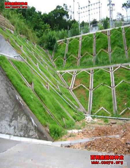 別墅花園草坪用什么草好看+綠化草種批發