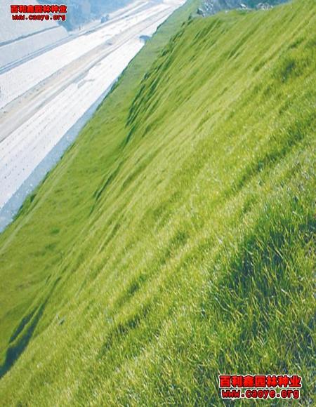 云南园林绿化草种 报价,铺草皮与撒草籽 资讯