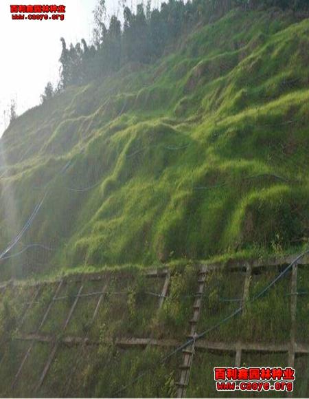 四季绿化草种 进口,昆明撒草籽时间 种子