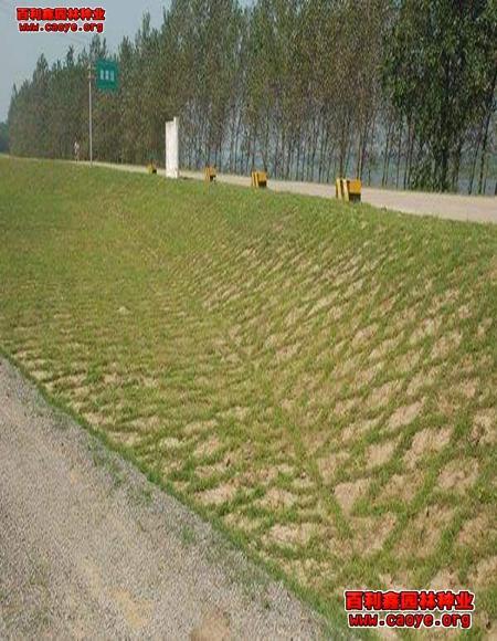 绿化草种供应,撒播狗牙根草籽 福建