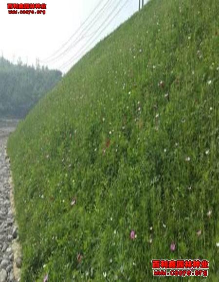 湖南绿化草种子批发价格,撒草籽需要盖什么防止流失