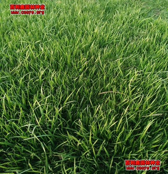护坡上应该种什么草最好