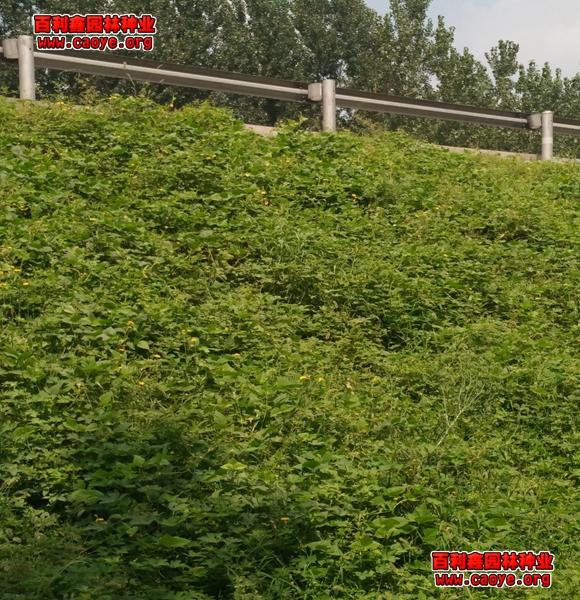 边坡绿化种子价格