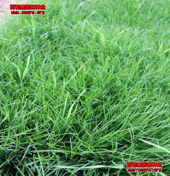 北方护坡草种去哪里买便宜