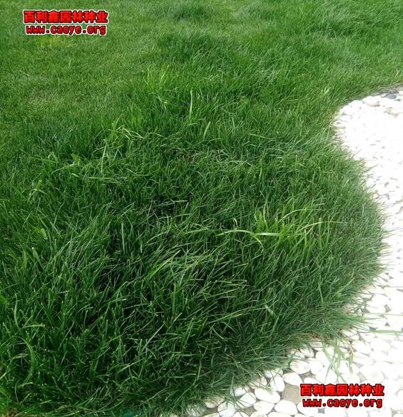 深圳护坡草种子
