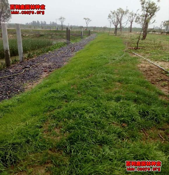 辽宁出售护坡高羊茅草种子