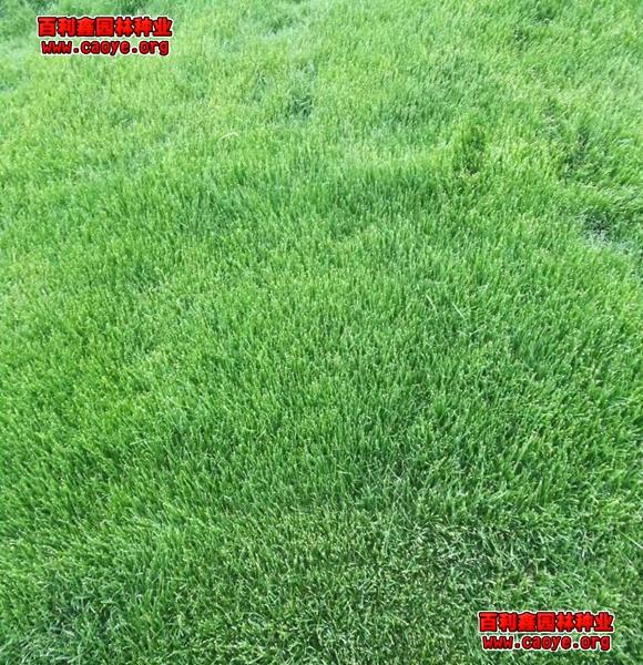 护坡王草种怎么种
