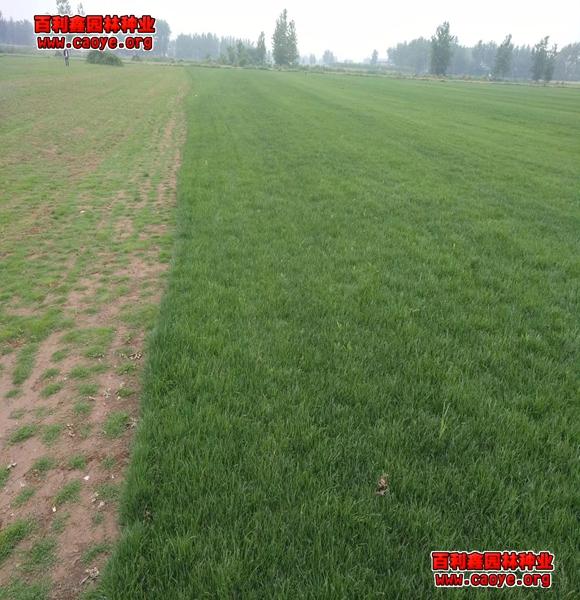吉林护坡草种
