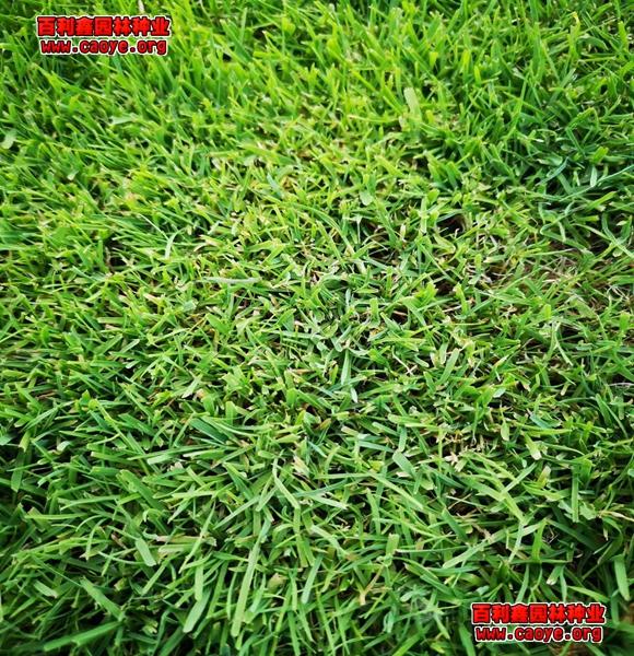 绿化护坡草种