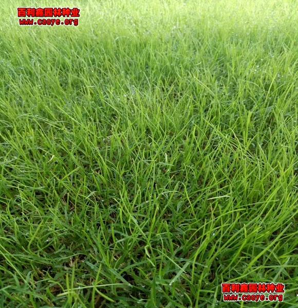 哪里有草坪种子护坡王抗旱的草种子种什么草