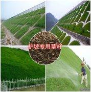 护坡专用草坪种子,边坡草种