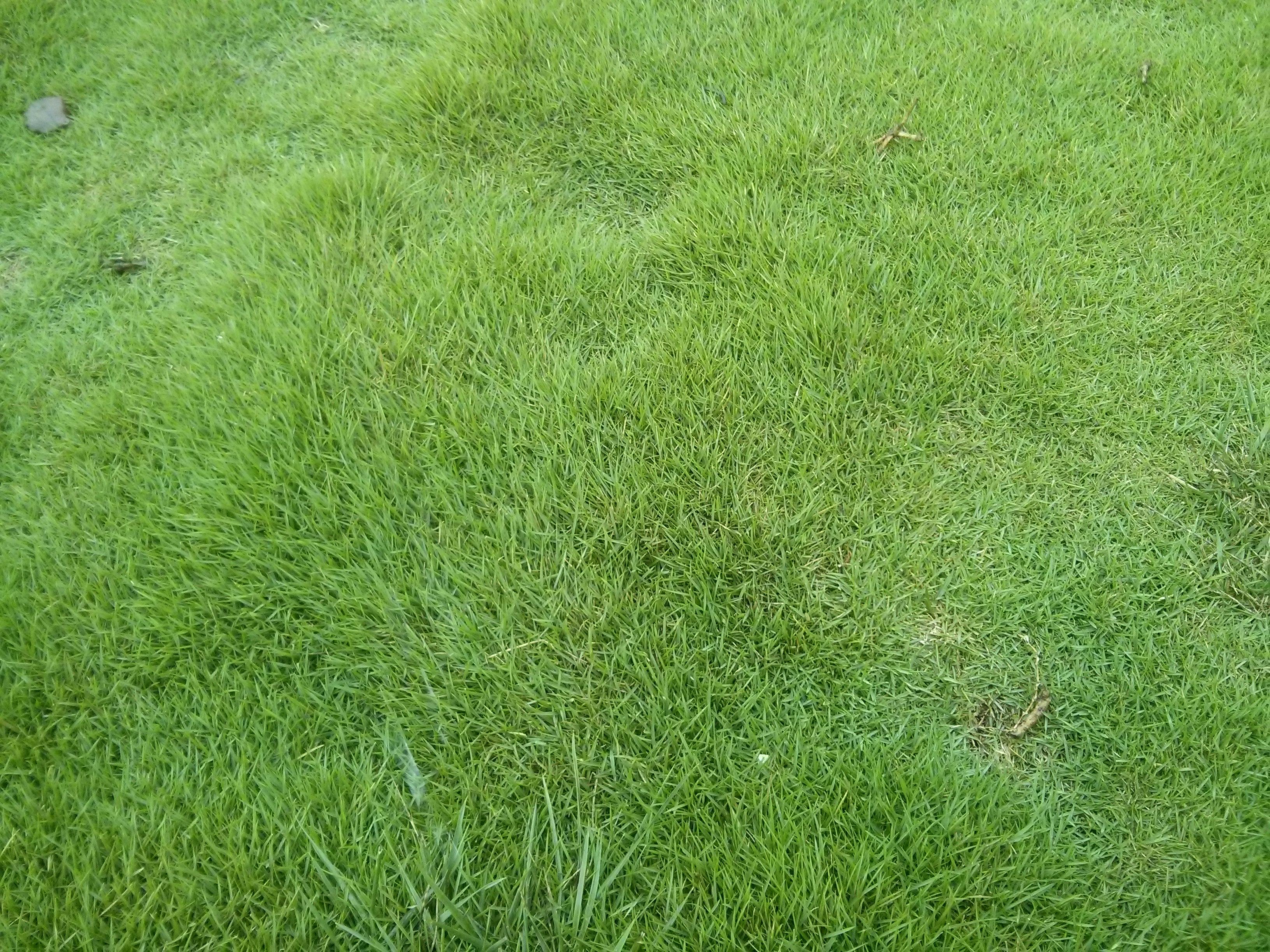 山东地区常用的草坪品种有哪些?