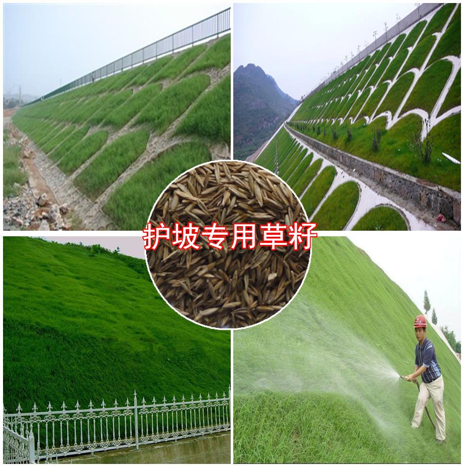 护坡专用草籽