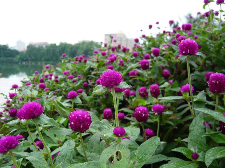千日红介绍及种子种植方法