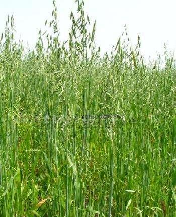 燕麦草多少钱一斤?
