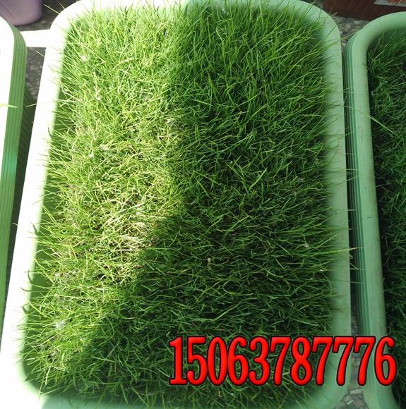 草坪中杂草的种子繁殖特点