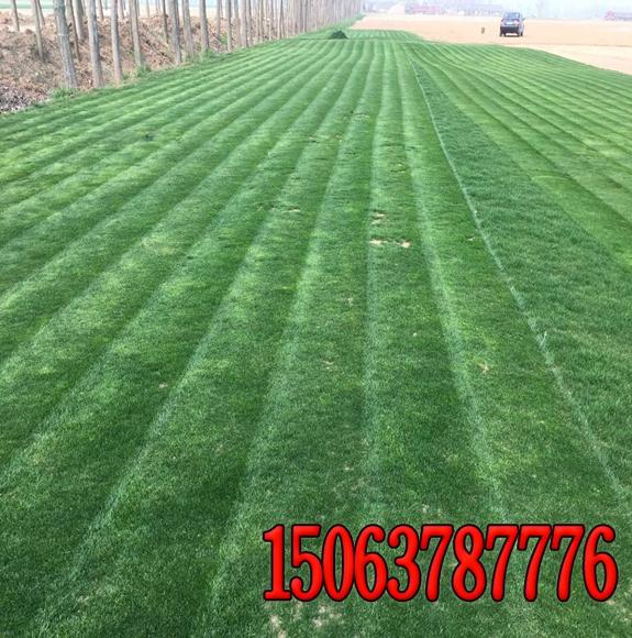 地毯式草皮的生产经验
