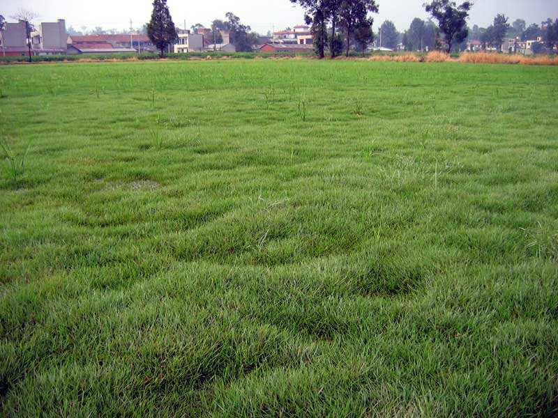 马尼拉种子怎么样?可以做草坪吗?