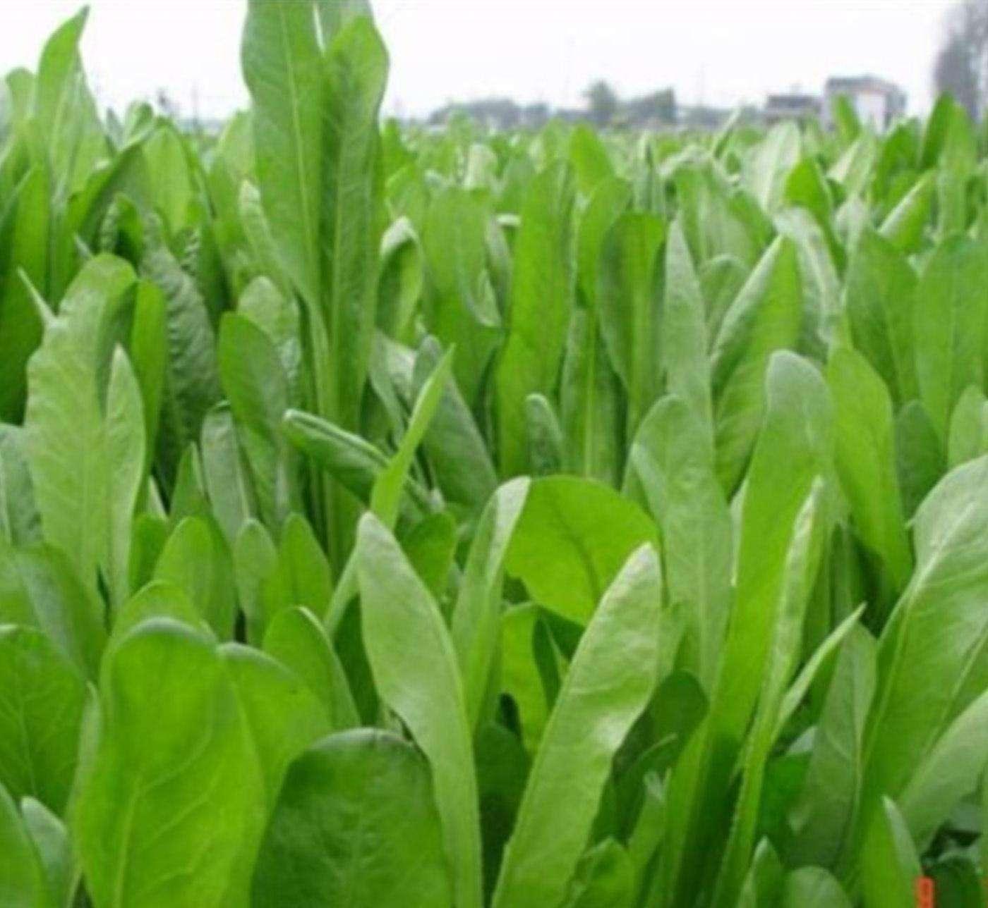 牧草鲁梅克斯的种植技术