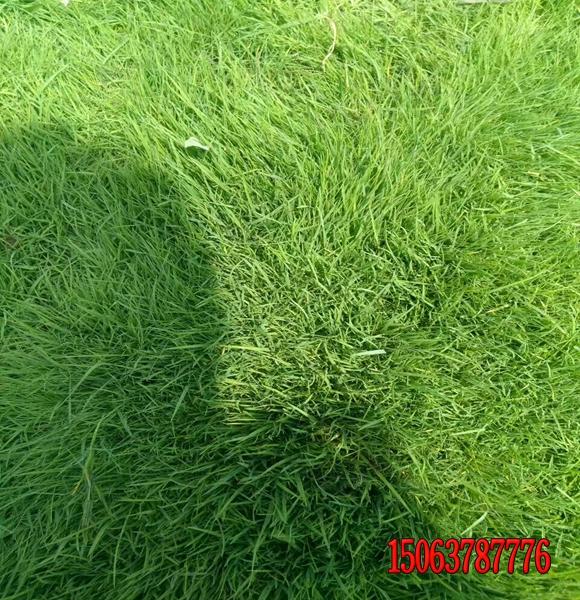 冷季型草坪然后防高温?