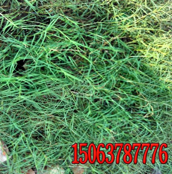 草坪草种有多少种?