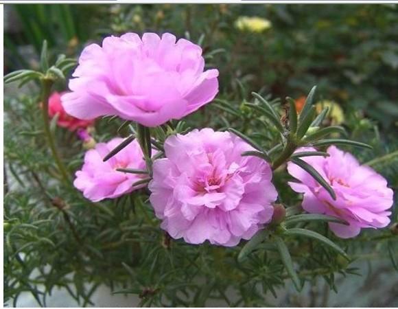 一年生和二年生花卉的特征和生态习性