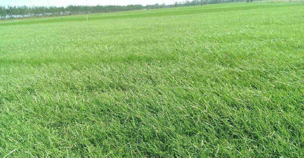 什么样的草种子既美观又护坡?