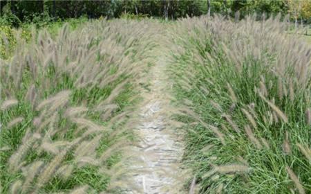 狗尾草的籽栽培技术
