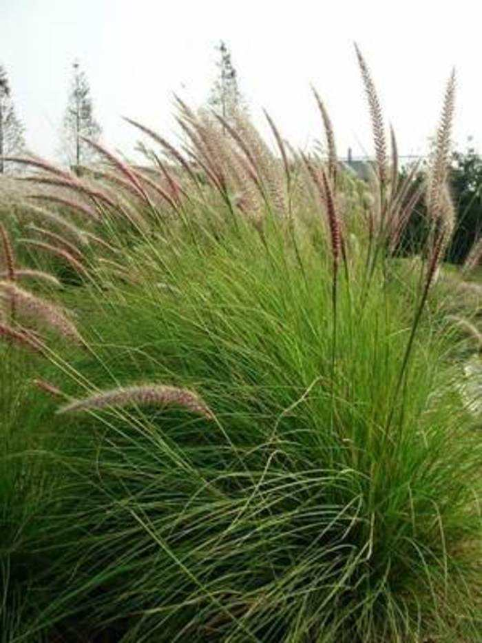 贵州有狼尾草草种吗?