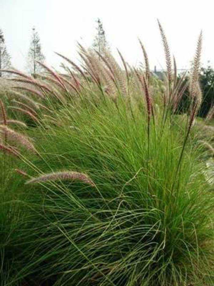 贵州可以种植非洲狼尾草吗?