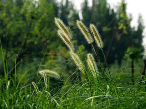 河南可以种植狼尾草吗?
