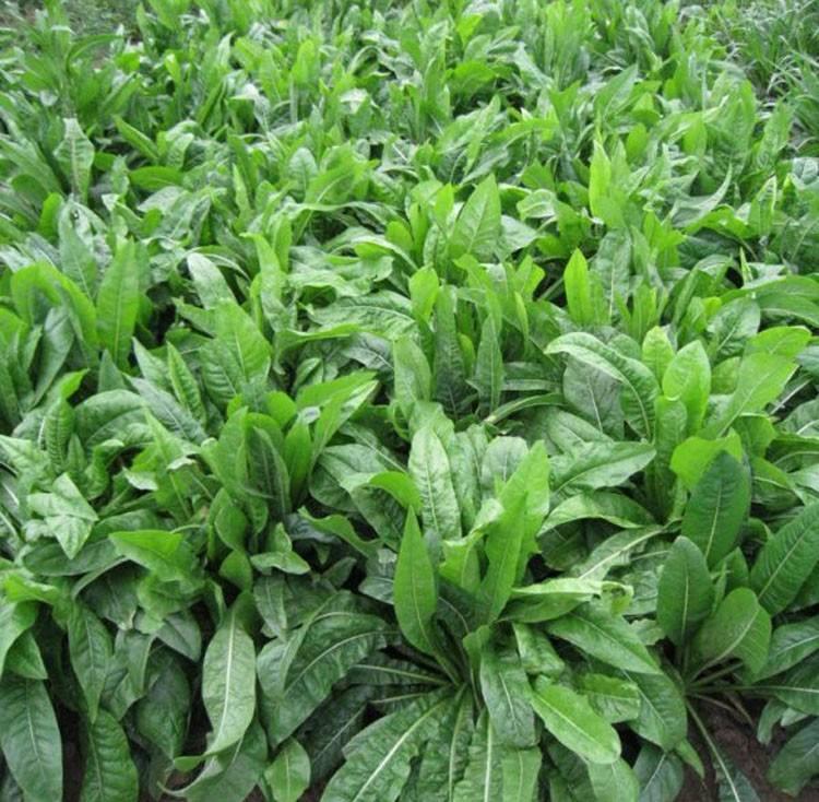 菊苣牧草每年可以收割几茬?