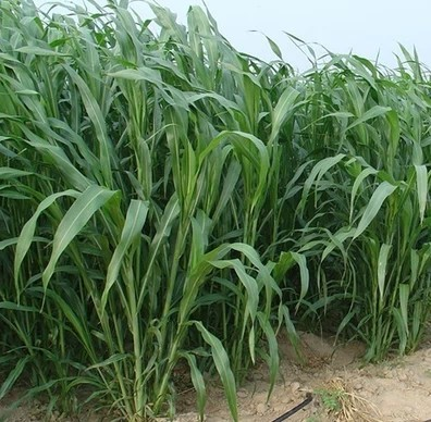 一亩地牧草可以养多少头肉牛,100亩能养多少头