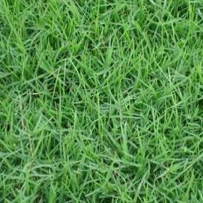 小区绿化种什么草?