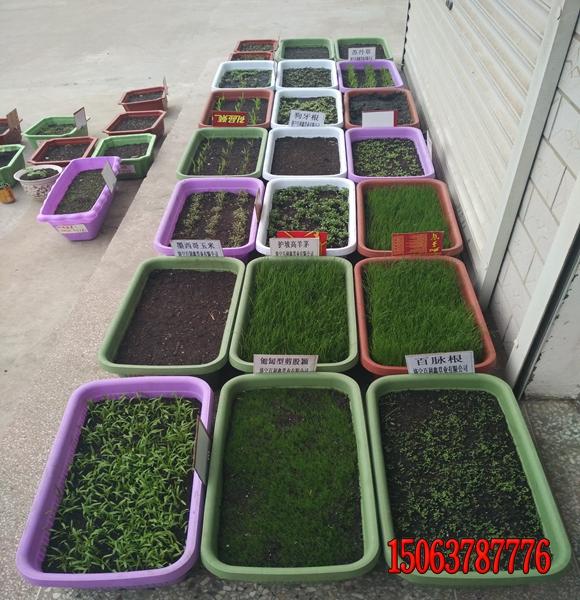 矿山绿化种什么草?