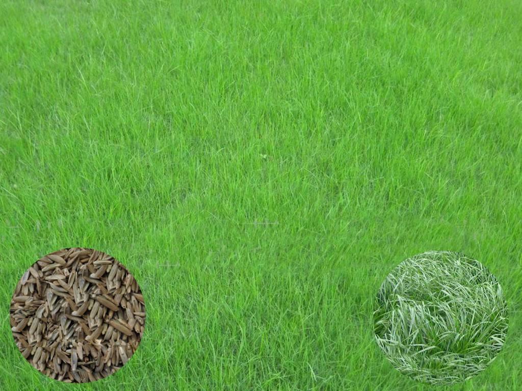 绿化护坡种什么草?
