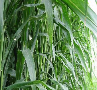 养十头牛需要种植几亩地牧草?