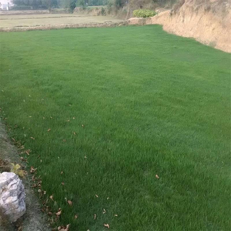 广场上种什么草坪草比较好?