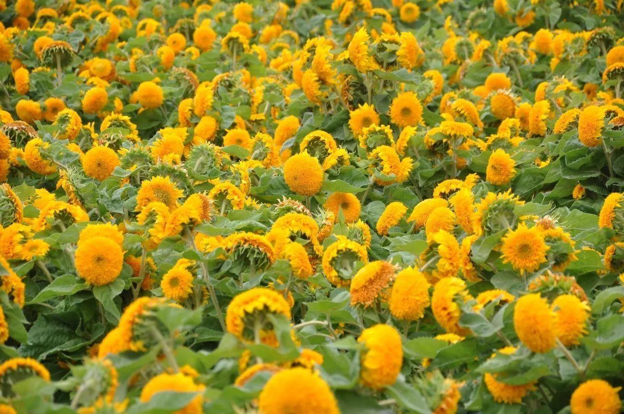 什么品种花做花海比较好看