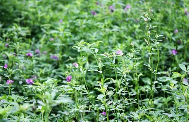 桃树林下可以种植什么植物来做绿肥?
