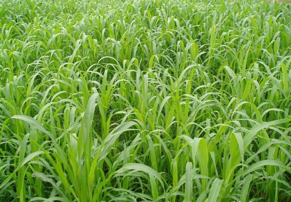 圈养鸡种什么草河北适合种植的牧草