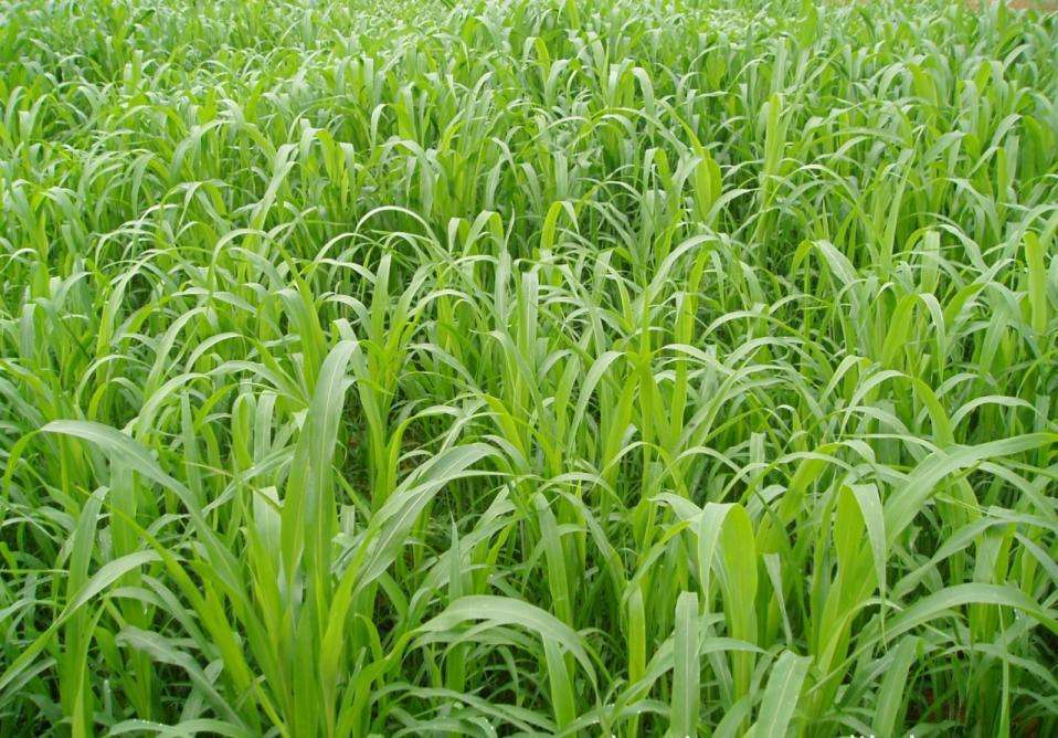 养殖鸡要种什么草牧草种子哪种好?