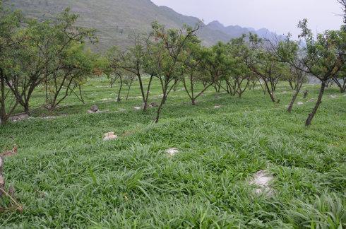 """桃树底下种白三叶,鸭毛等牧草比较好。 这些牧草耐阴,还可以给食草动物吃。 比如喂鱼或者养鹅,让鹅在桃树下自己采食。   鼠茅草是一种耐严寒而不耐高温的草本植物。是一种优良的绿肥草种,又名鼠尾狐茅  。鼠茅草地上部呈丛生的线状针叶生长,自然倒伏匍匐生长,针叶长达60-70厘米。   在生长旺季,匍匐生长的针叶类似马鬃马尾,在地面编织成20-30厘米厚,波浪式的葱  绿色 """"云海"""",长期覆盖地面,既防止土壤水分蒸发,又避免地面太阳曝晒,增强果  树的抗旱能力。"""