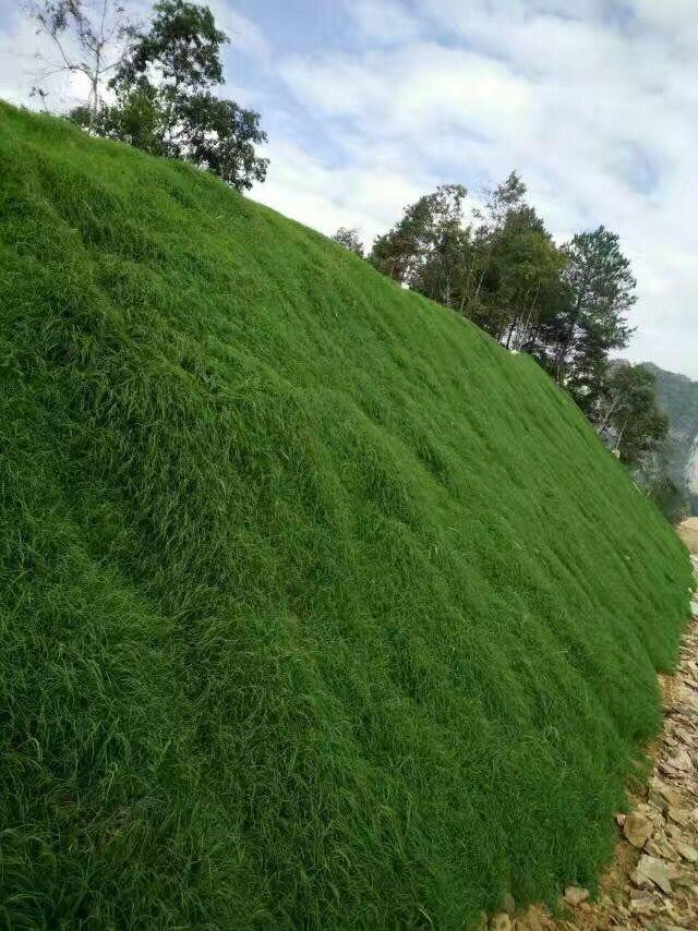 北方公路护坡应种什么草最好北方护坡种子