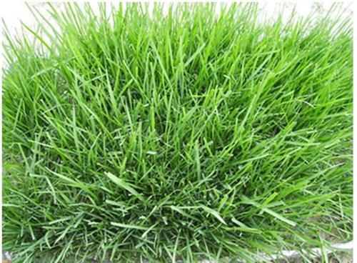 公园草坪一般种什么草