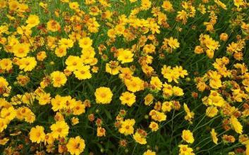 波斯菊种子价格