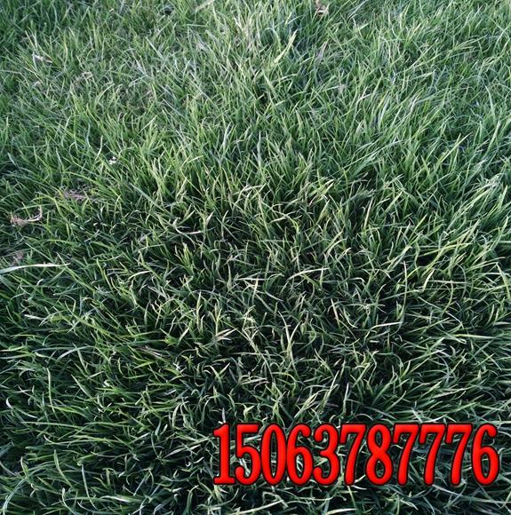 堤坝护坡草籽草种的价格